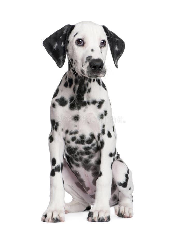 Chiot dalmatien image libre de droits
