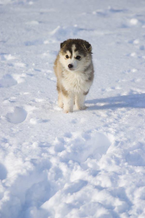 Chiot dans la neige images libres de droits