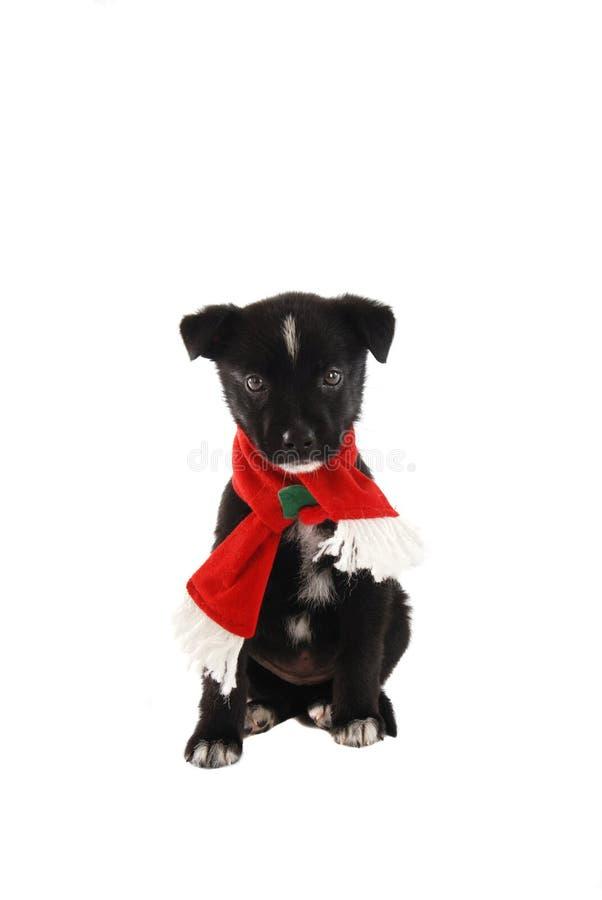 Chiot dans une écharpe de vacances de Noël image libre de droits