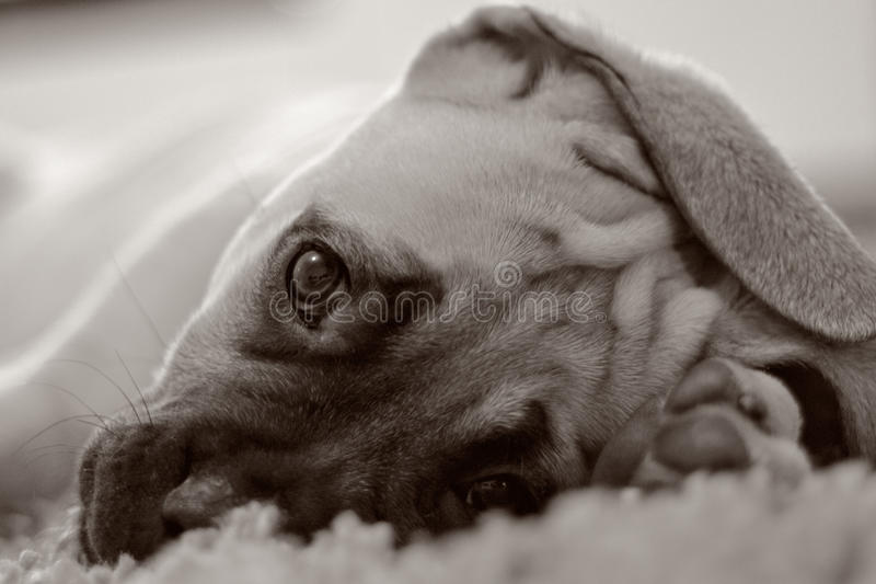 Chiot de B&W Bullmastiff photos stock