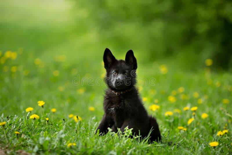 Chiot de berger allemand de couleur noire photos libres de droits