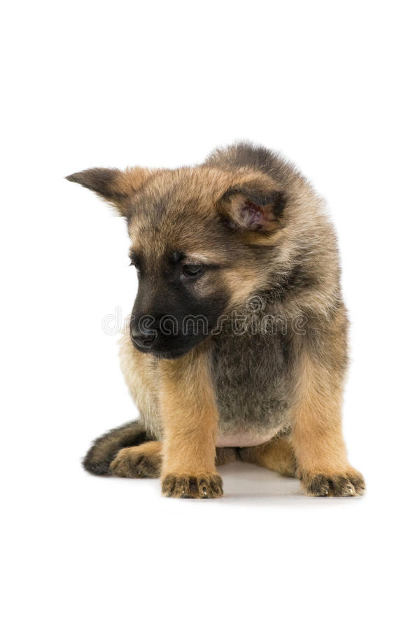 Chiot de bergers allemands photo stock