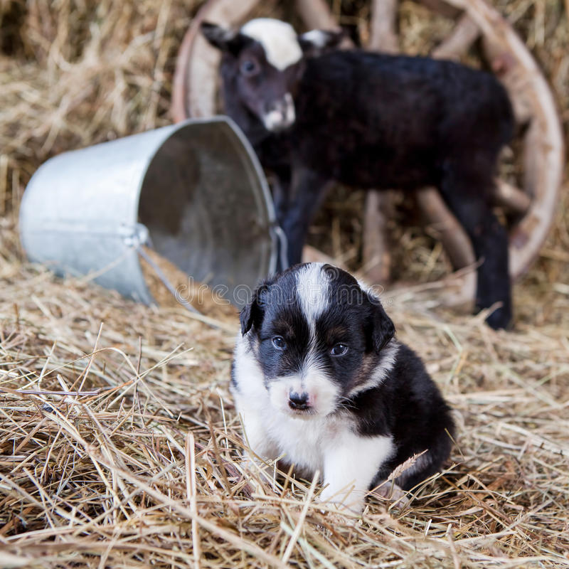 Chiot de border collie avec l'agneau photo stock