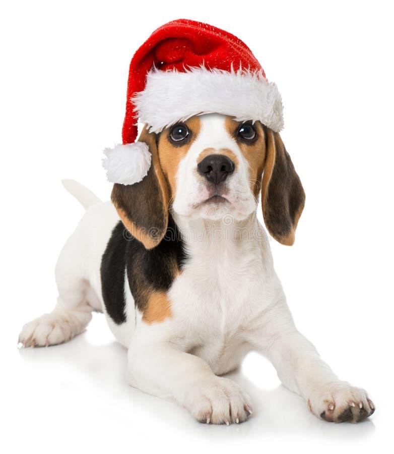 Chiot de briquet avec le chapeau rouge de Santa images libres de droits