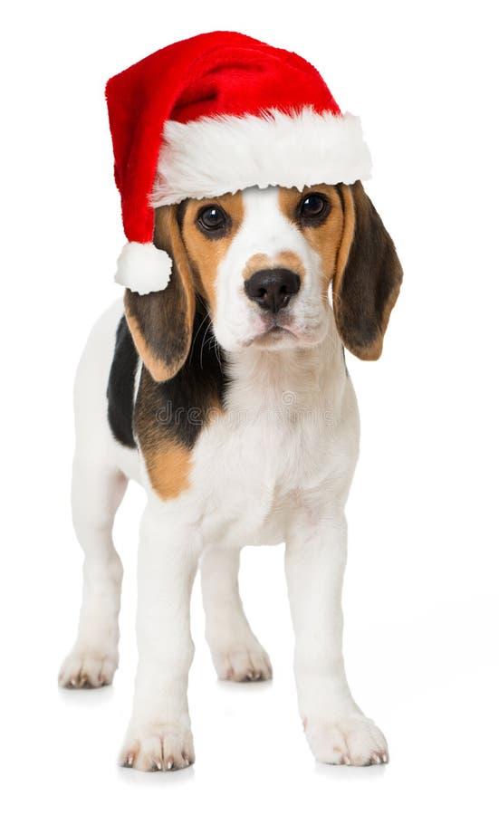 Chiot de briquet avec le chapeau rouge de Santa photo stock