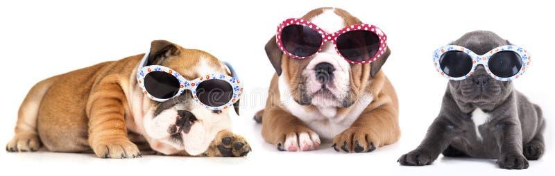 chiot de buldog dans des lunettes de soleil photo libre de droits