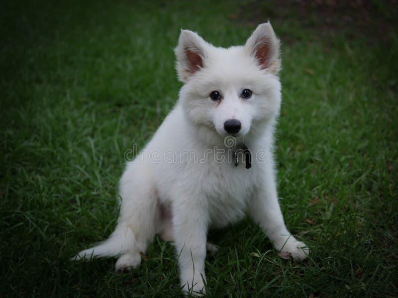 Chiot de chien photographie stock libre de droits