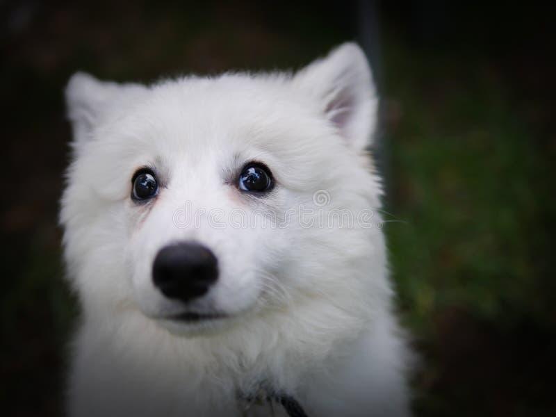 Chiot de chien image libre de droits