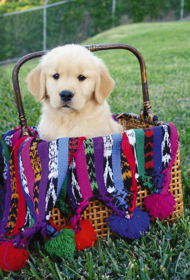 Chiot de chien d'arrêt d'or photo stock