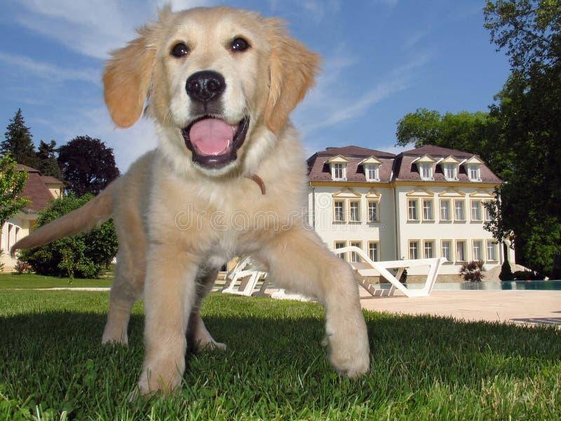Chiot de chien d'arrêt d'or dans le jardin image libre de droits