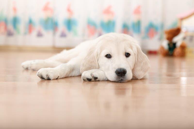 Chiot de chien d'arrêt de Labrador image stock