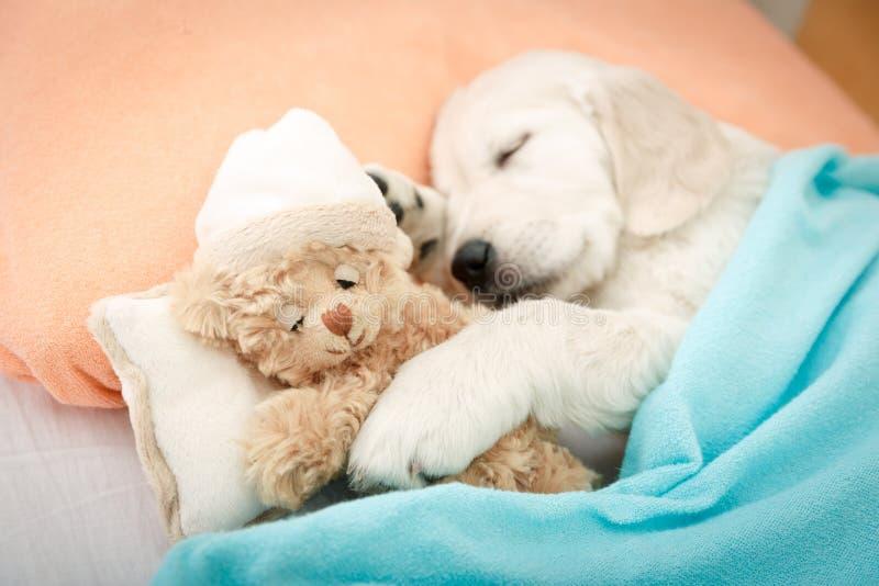Chiot de chien d'arrêt de Labrador image libre de droits