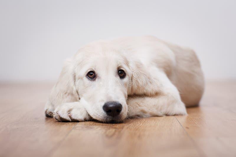 Chiot de chien d'arrêt de Labrador images libres de droits