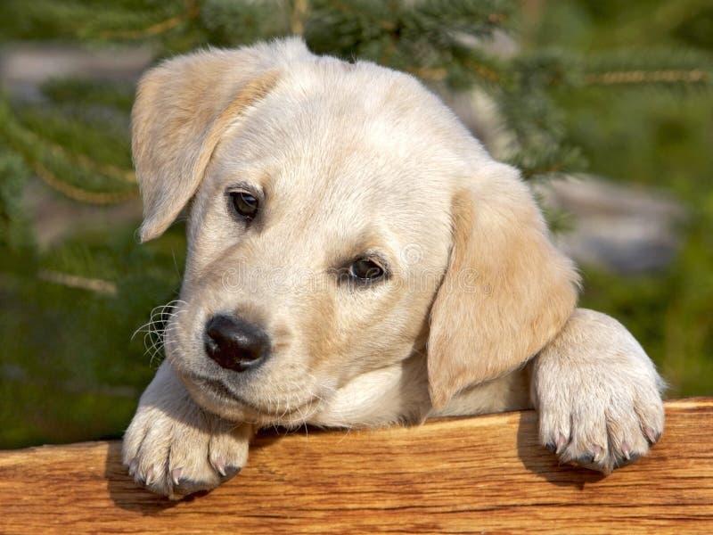 Chiot de chien d'arrêt de Labrador photo stock
