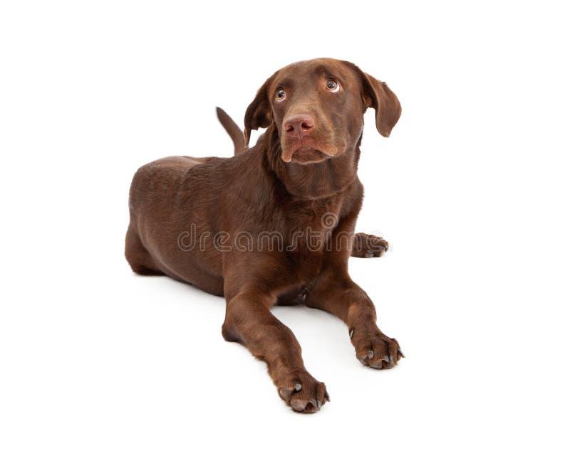 Chiot de chien d'arrêt de Labrador avec le regard coupable photographie stock libre de droits
