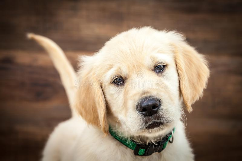 Chiot de chien d'arr?t d'or photos stock