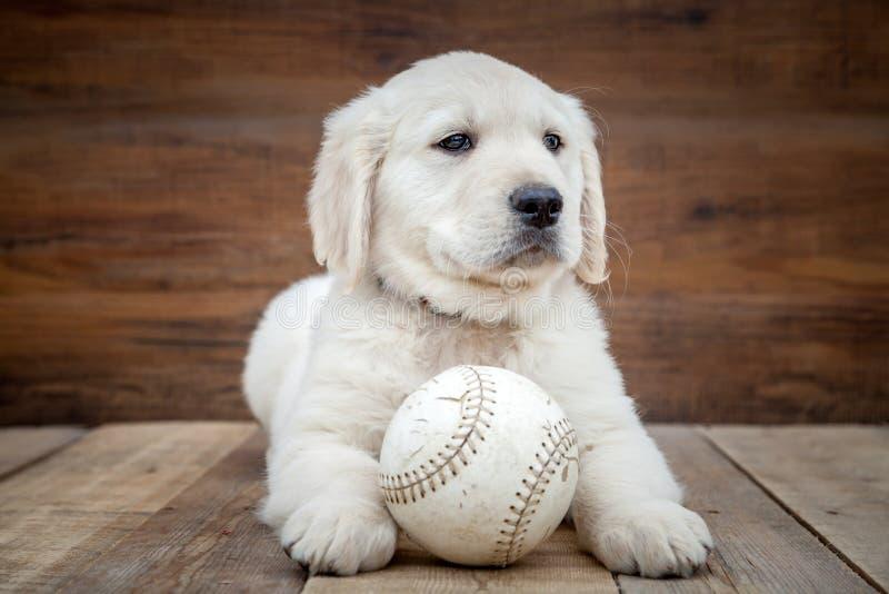 Chiot de chien d'arr?t d'or photos libres de droits