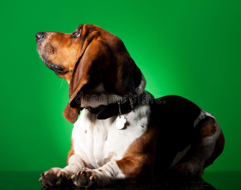 Chiot de chien de basset image stock