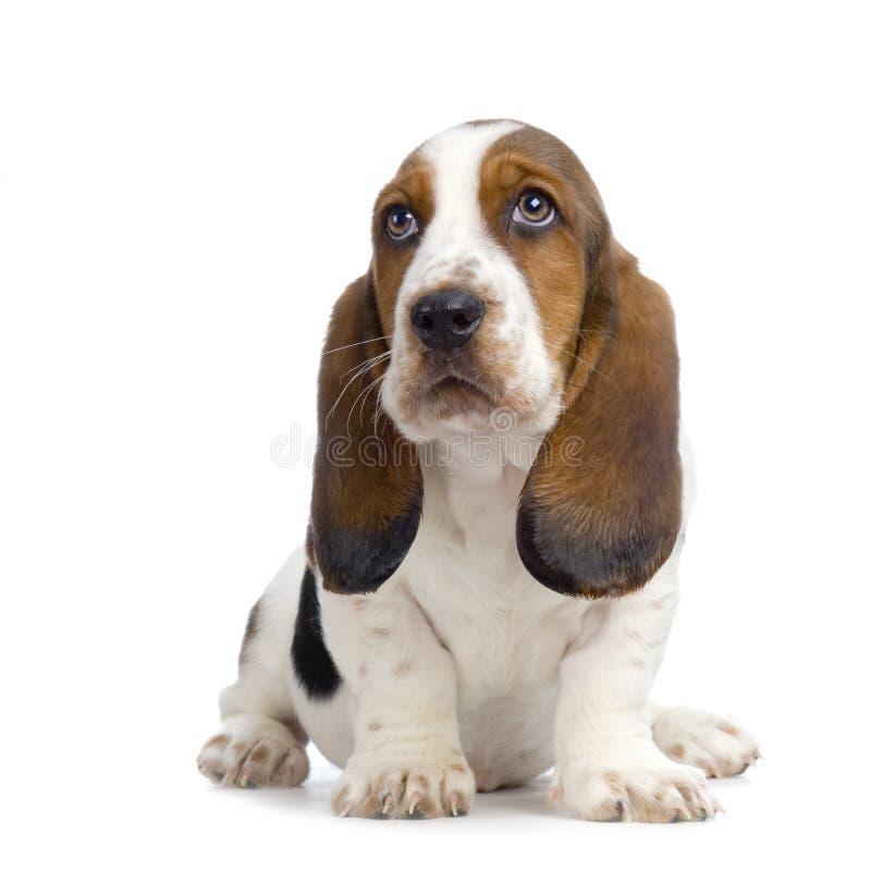Chiot de chien de basset photos libres de droits
