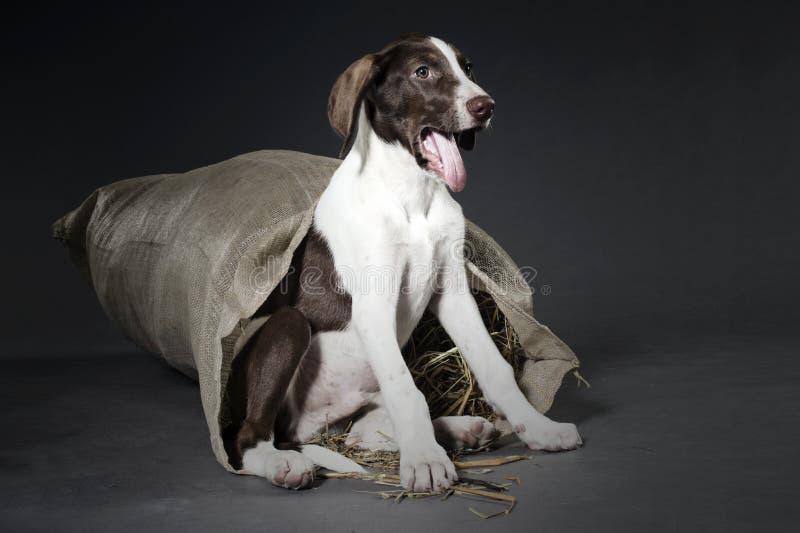Chiot de chien de chasse photo stock