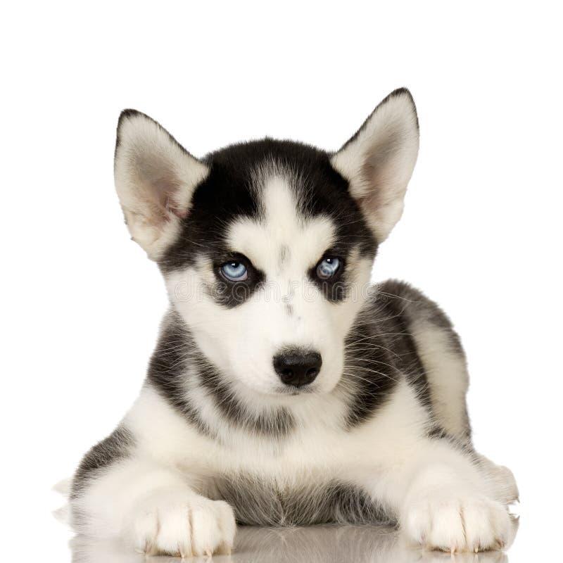 Chiot de chien de traîneau sibérien photographie stock libre de droits