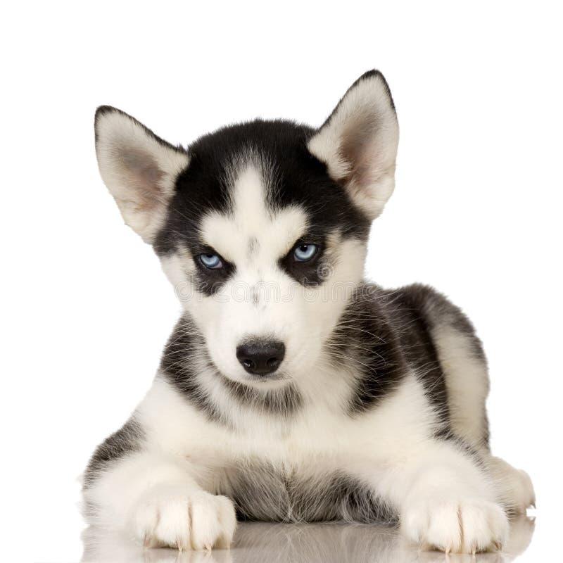 Chiot de chien de traîneau sibérien photographie stock