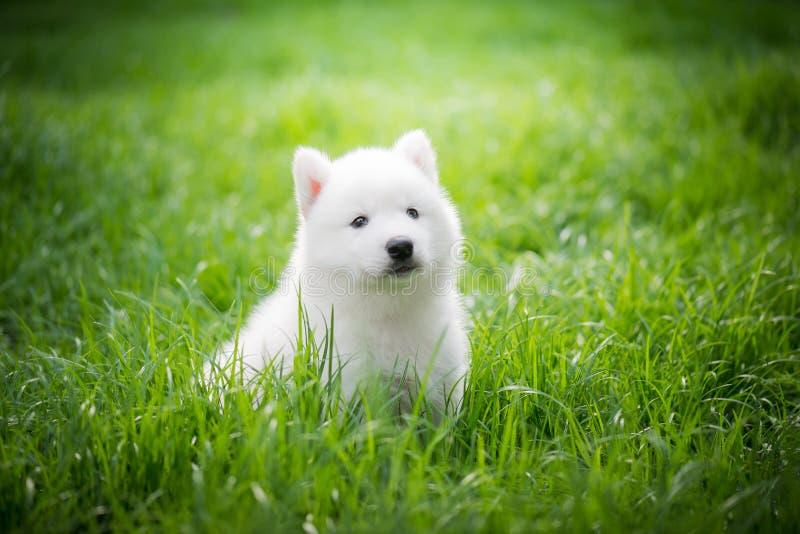 Chiot de chien de traîneau sibérien jouant sur l'herbe verte photos libres de droits