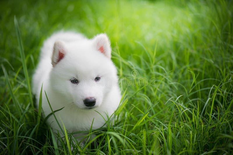 Chiot de chien de traîneau sibérien jouant sur l'herbe verte photo libre de droits