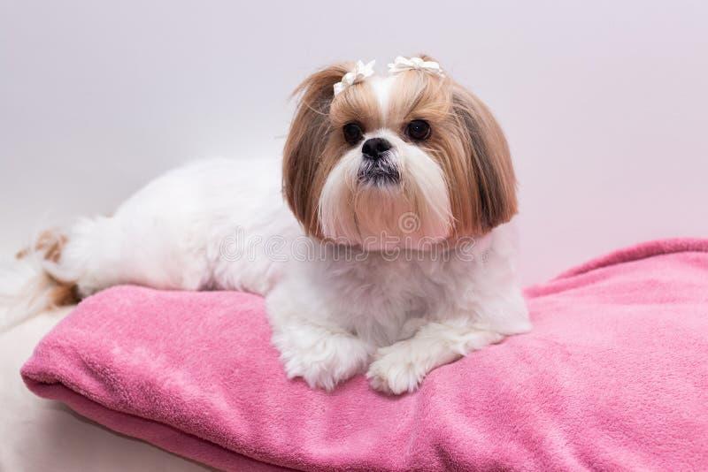 Chiot de chien de Shihtzu photo stock