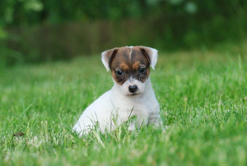 Chiot de chien terrier de Jack Russell image libre de droits