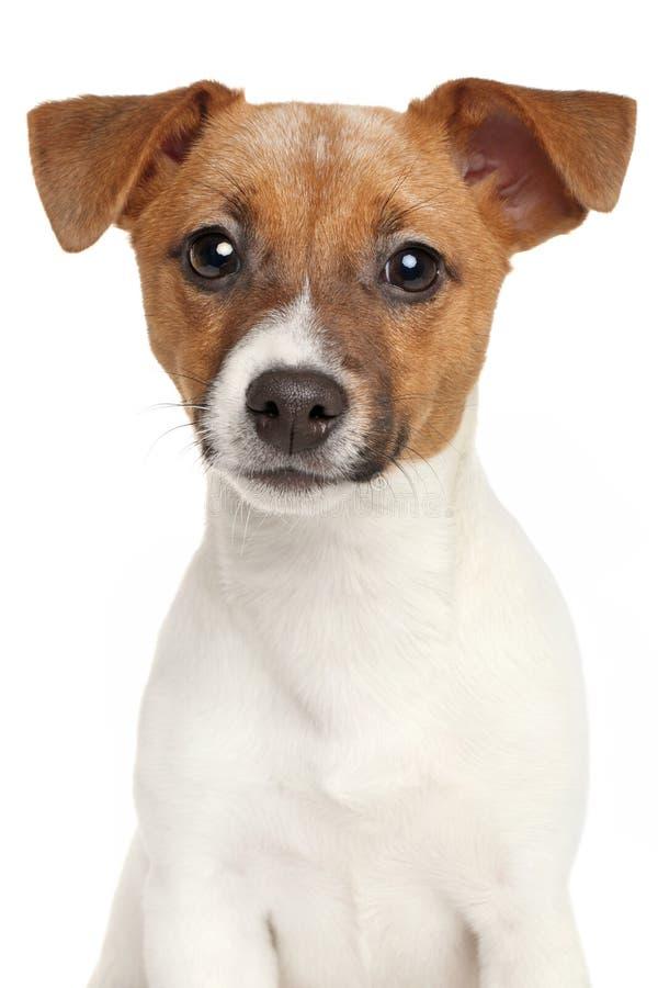 Chiot de chien terrier de Jack Russell Portrait sur le fond blanc image stock
