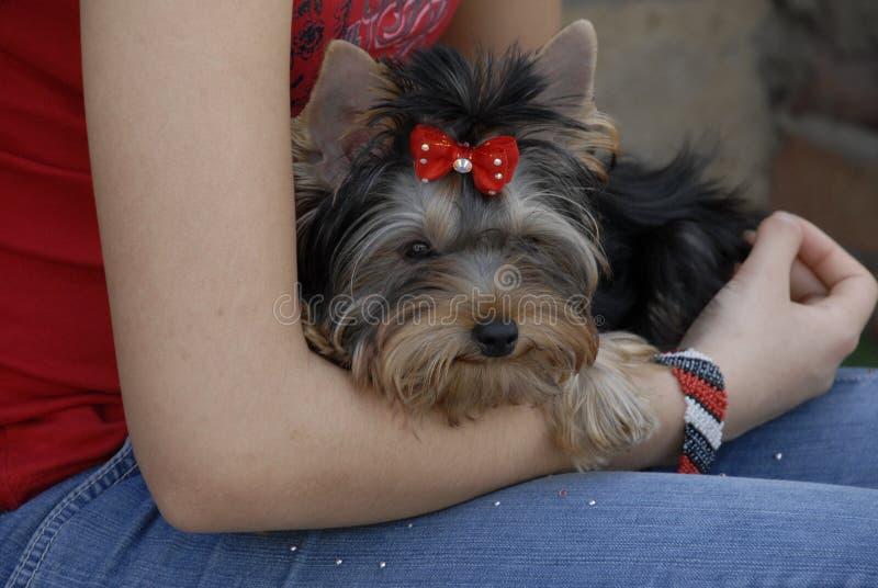 Chiot de chien terrier de jouet photo libre de droits