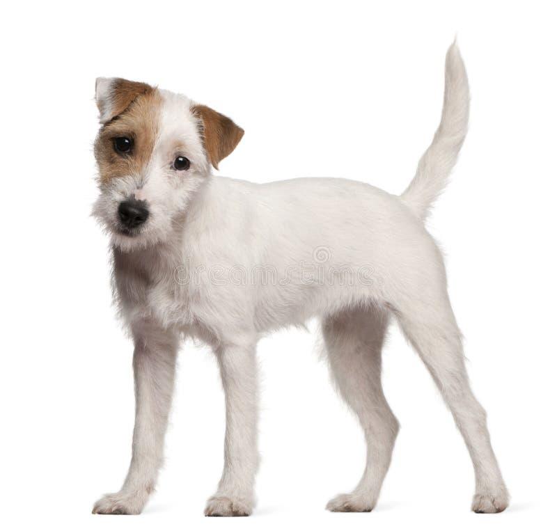 Chiot de chien terrier de Russell de pasteur, 6 mois images stock