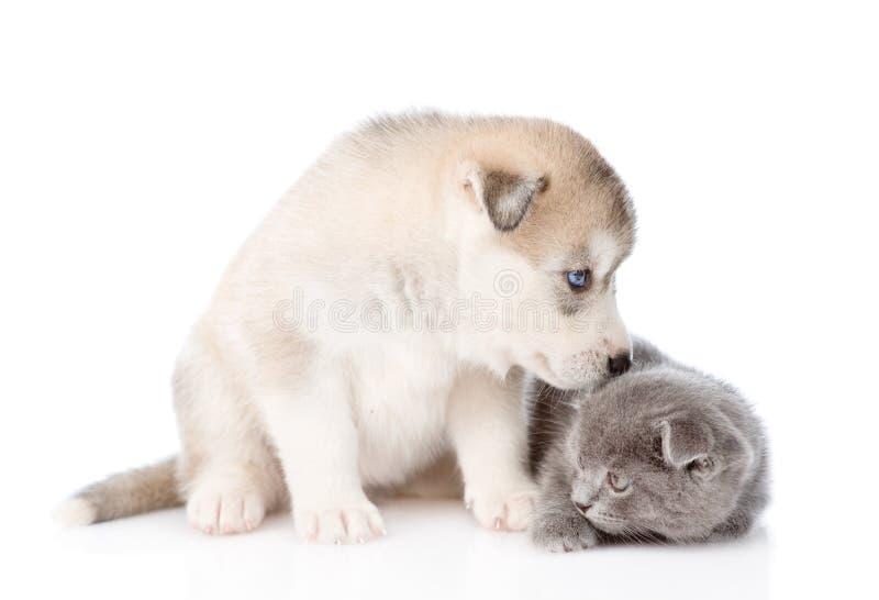 Chiot de chien de traîneau sibérien reniflant le chaton écossais D'isolement sur le fond blanc images libres de droits