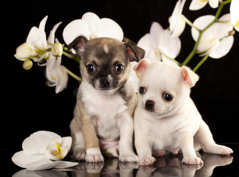 Chiot de chiwawa images stock