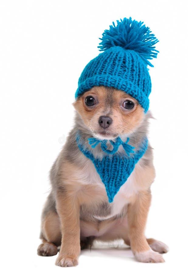 Chiot de chiwawa avec l'écharpe et le chapeau bleus photos stock
