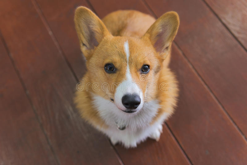 Chiot de corgi photo stock