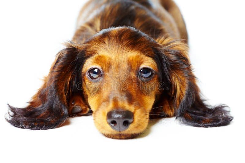 chiot de dachshund photographie stock
