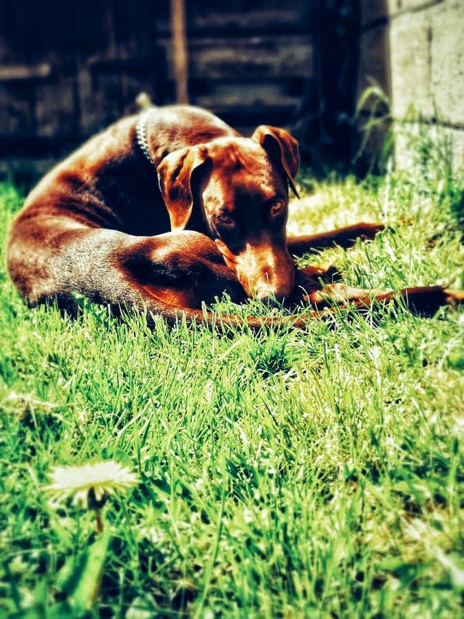 Chiot de dobermann dormant dans des bains du soleil photographie stock libre de droits