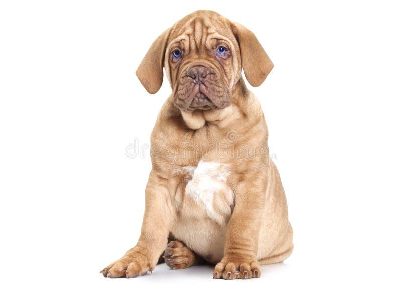 Chiot de Dogue de Bordeaux (mastiff français) photographie stock libre de droits