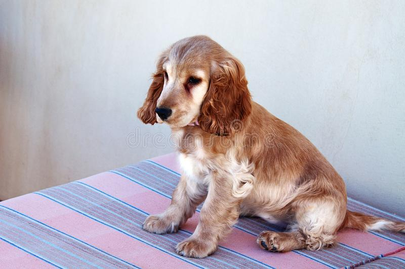 Chiot de Fawn Spaniel se reposant sur le sofa photos stock