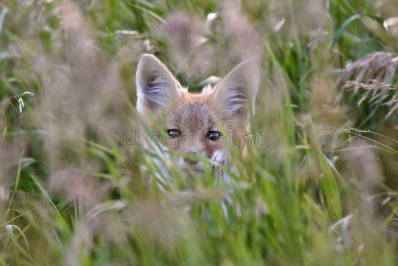 Chiot de Fox rouge dans le cache d'herbe image libre de droits