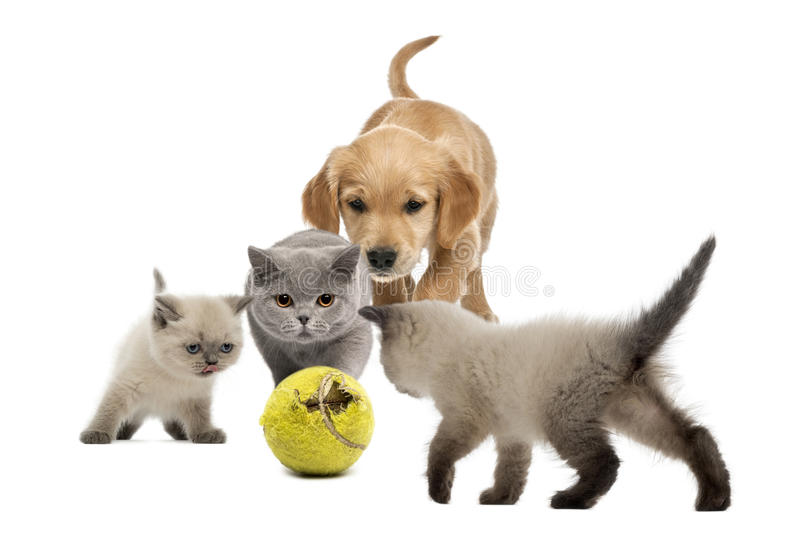 Chiot de golden retriever chatons marchant vers la balle de tennis photographie stock libre de droits