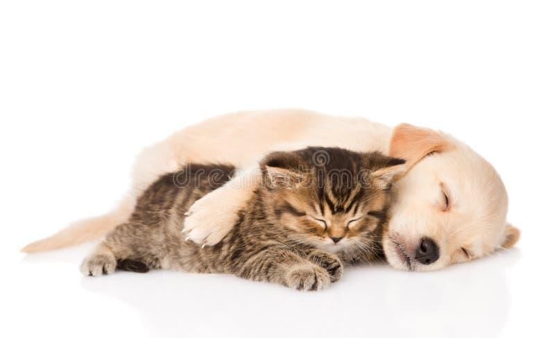 Chiot de golden retriever et chat britannique dormant ensemble D'isolement photos stock