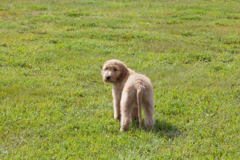 Chiot de Goldendoodle regardant au-dessus de son épaule sur le champ herbeux photographie stock