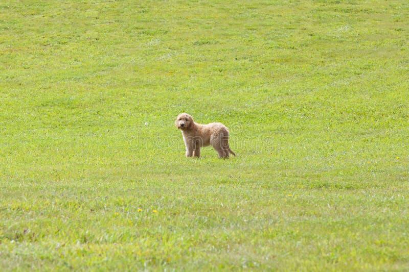 Chiot de Goldendoodle se tenant sur un champ herbeux photos libres de droits