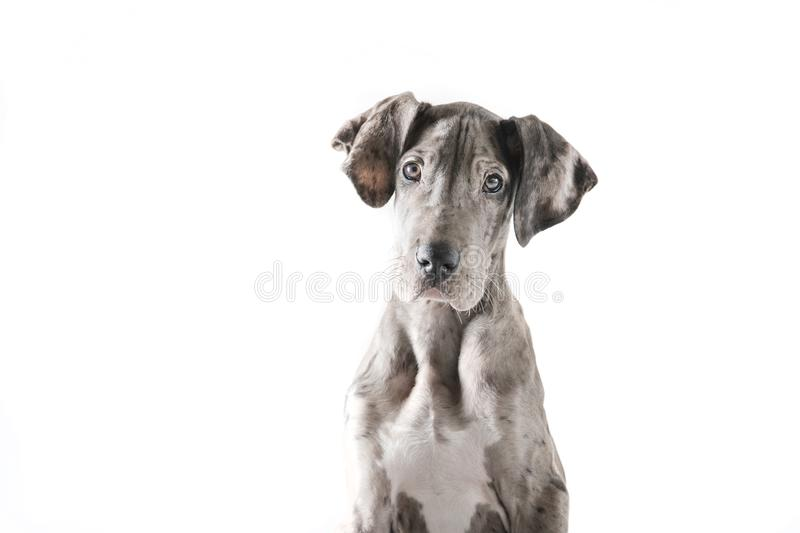 Chiot de Gray Great Dane photographie stock libre de droits