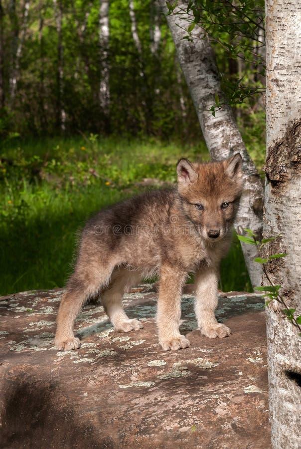Chiot de Grey Wolf (lupus de Canis) sur la roche photo libre de droits