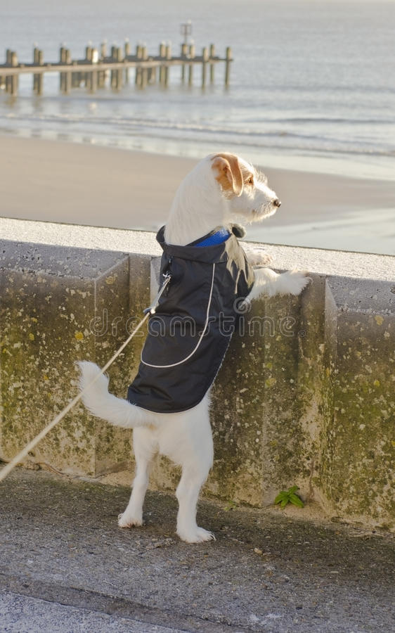Chiot de Jack Russell photographie stock
