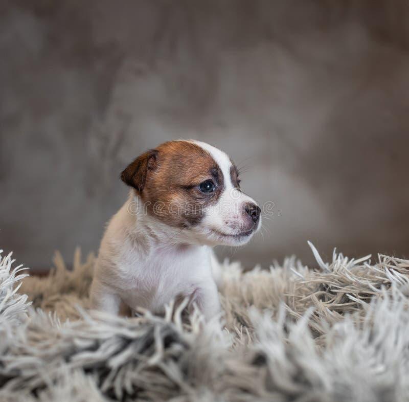 Chiot de Jack Russell Terrier avec des taches sur le museau, se reposant sur un tapis de Terry photographie stock libre de droits
